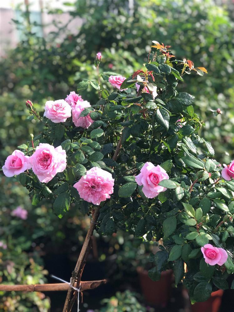 Vườn hồng 400 loài đẹp ngẩn ngơ của kỹ sư bỏ phố về núi-5