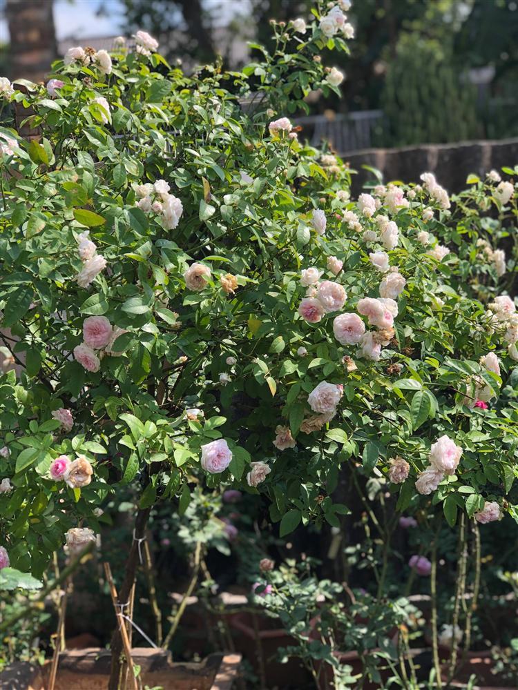 Vườn hồng 400 loài đẹp ngẩn ngơ của kỹ sư bỏ phố về núi-6