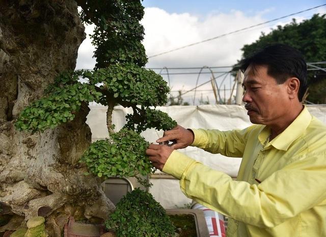 Đại gia tiếc ngẩn ngơ, chi 10 tỷ không mua nổi cây duối cổ-2