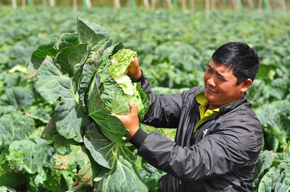 Bắp cải giá 1.000đồng/bắp, nông dân định băm nhỏ ủ làm phân-1