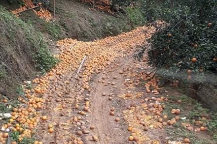 Cam sành rụng đầy đường ở Hà Giang