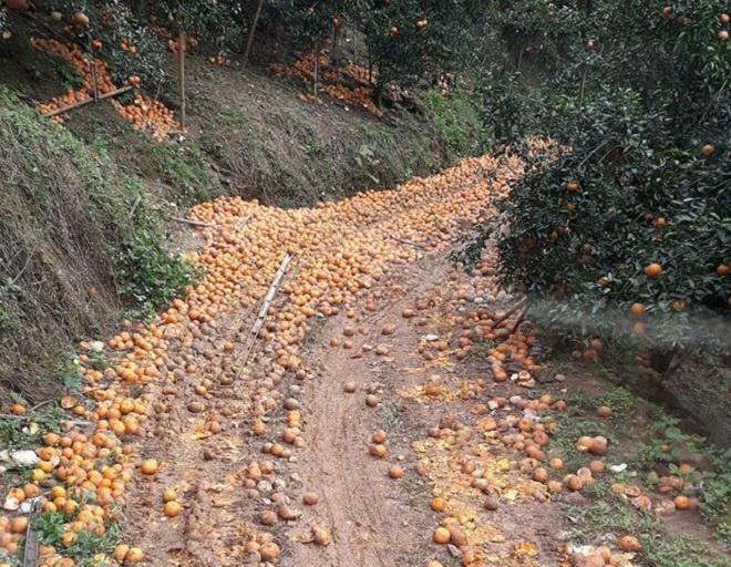 Cam sành rụng đầy đường ở Hà Giang-1
