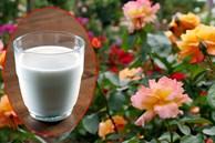 Sữa hết hạn chớ vứt đi, để lại mang 'cứu nguy' cho vườn hồng sắp rụi