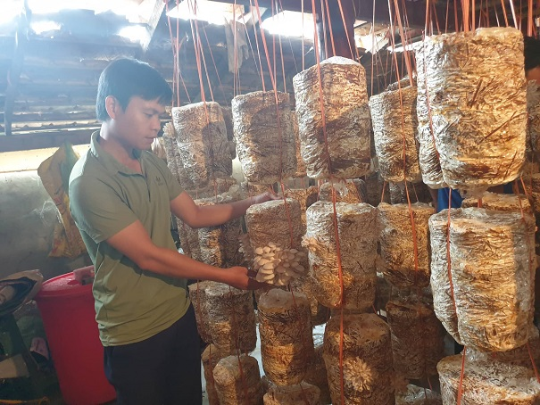 Trồng 600 bịch nấm sò, ngày nào cũng bán, giá từ 35-50 ngàn/kg-1