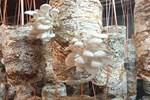Trồng 600 bịch nấm sò, ngày nào cũng bán, giá từ 35-50 ngàn/kg