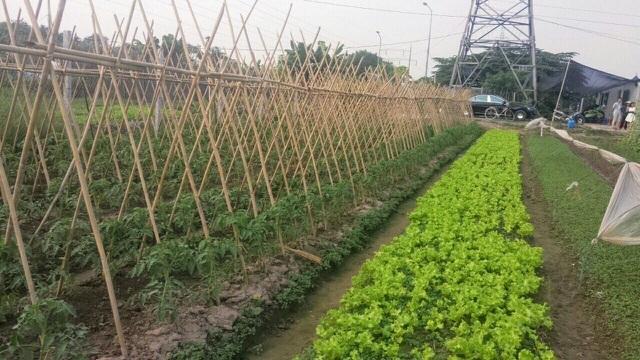 Lo thực phẩm bẩn, nhà giàu Hà Nội đua nhau thuê đất tự trồng rau ăn-1