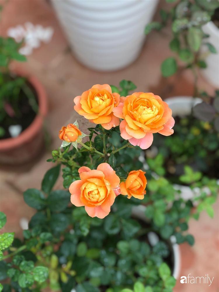 Mê hoa hồng, cô gái trẻ xứ Huế quyết tâm thức khuya dậy sớm tạo cả khu vườn hồng rực rỡ trên sân thượng-5