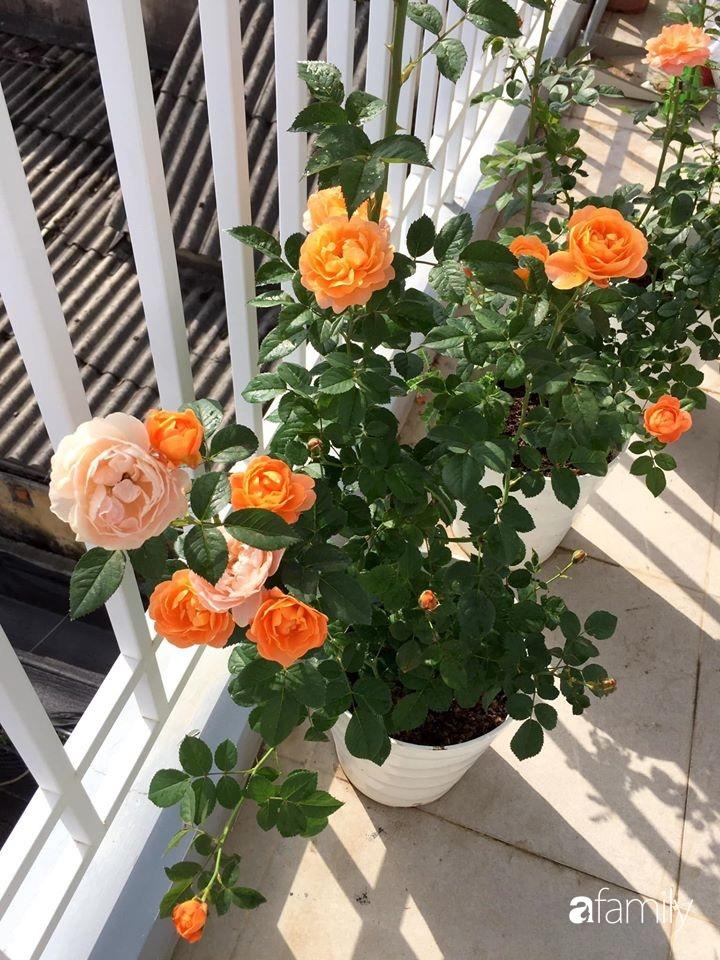Mê hoa hồng, cô gái trẻ xứ Huế quyết tâm thức khuya dậy sớm tạo cả khu vườn hồng rực rỡ trên sân thượng-6