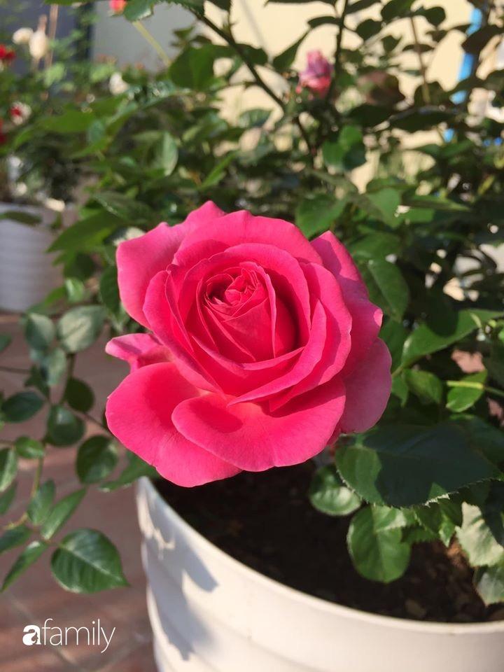 Mê hoa hồng, cô gái trẻ xứ Huế quyết tâm thức khuya dậy sớm tạo cả khu vườn hồng rực rỡ trên sân thượng-8