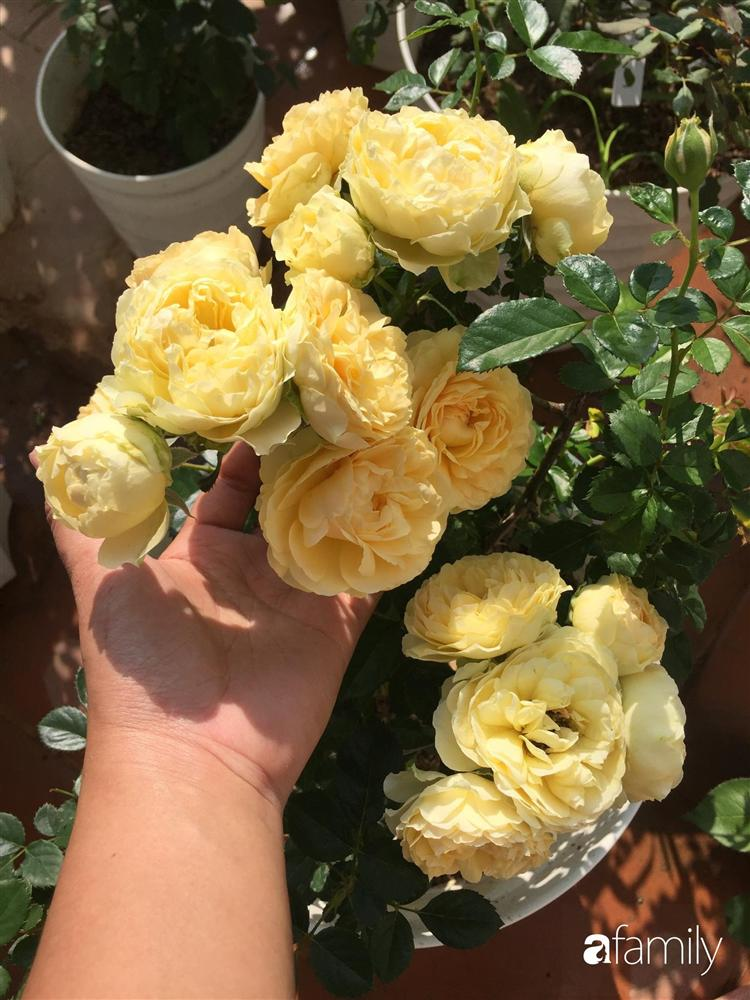 Mê hoa hồng, cô gái trẻ xứ Huế quyết tâm thức khuya dậy sớm tạo cả khu vườn hồng rực rỡ trên sân thượng-11