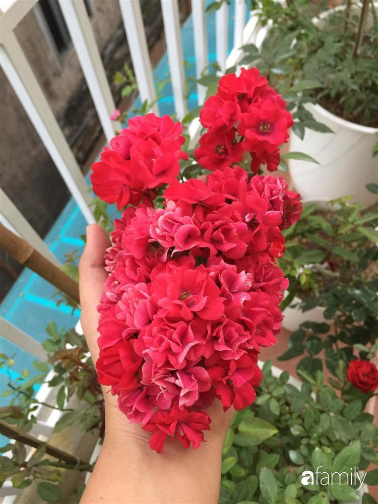 Mê hoa hồng, cô gái trẻ xứ Huế quyết tâm thức khuya dậy sớm tạo cả khu vườn hồng rực rỡ trên sân thượng-12