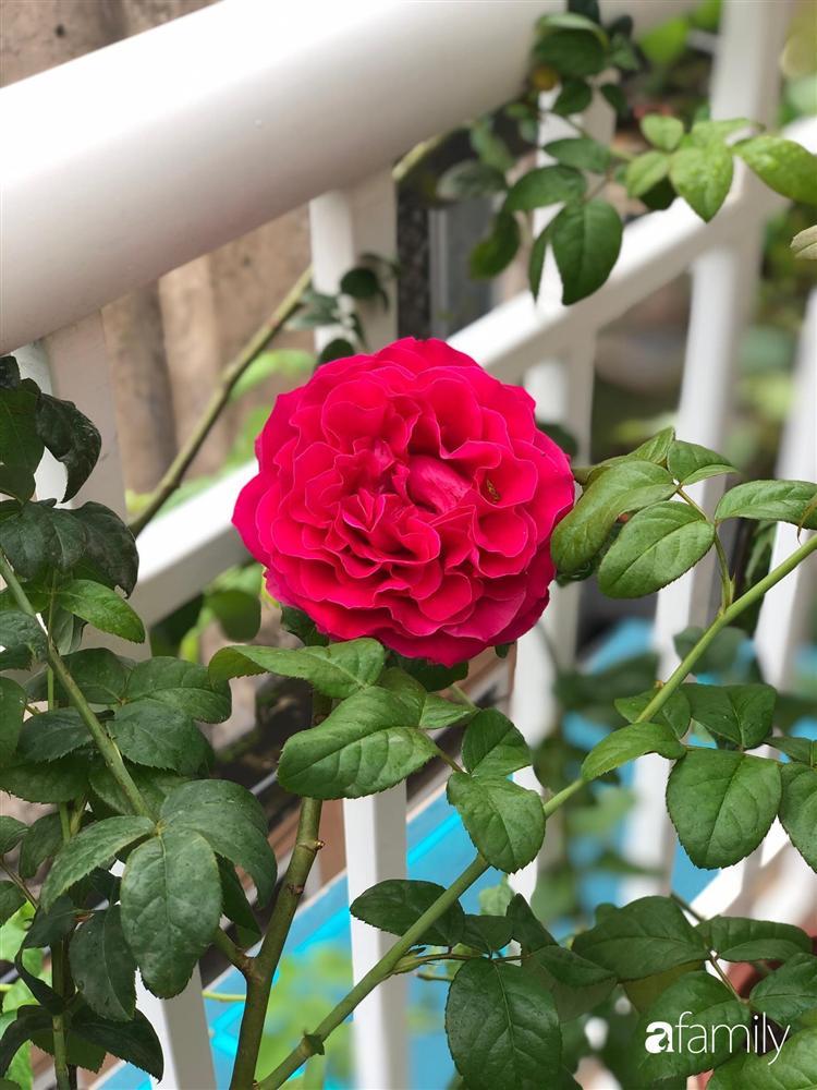 Mê hoa hồng, cô gái trẻ xứ Huế quyết tâm thức khuya dậy sớm tạo cả khu vườn hồng rực rỡ trên sân thượng-13