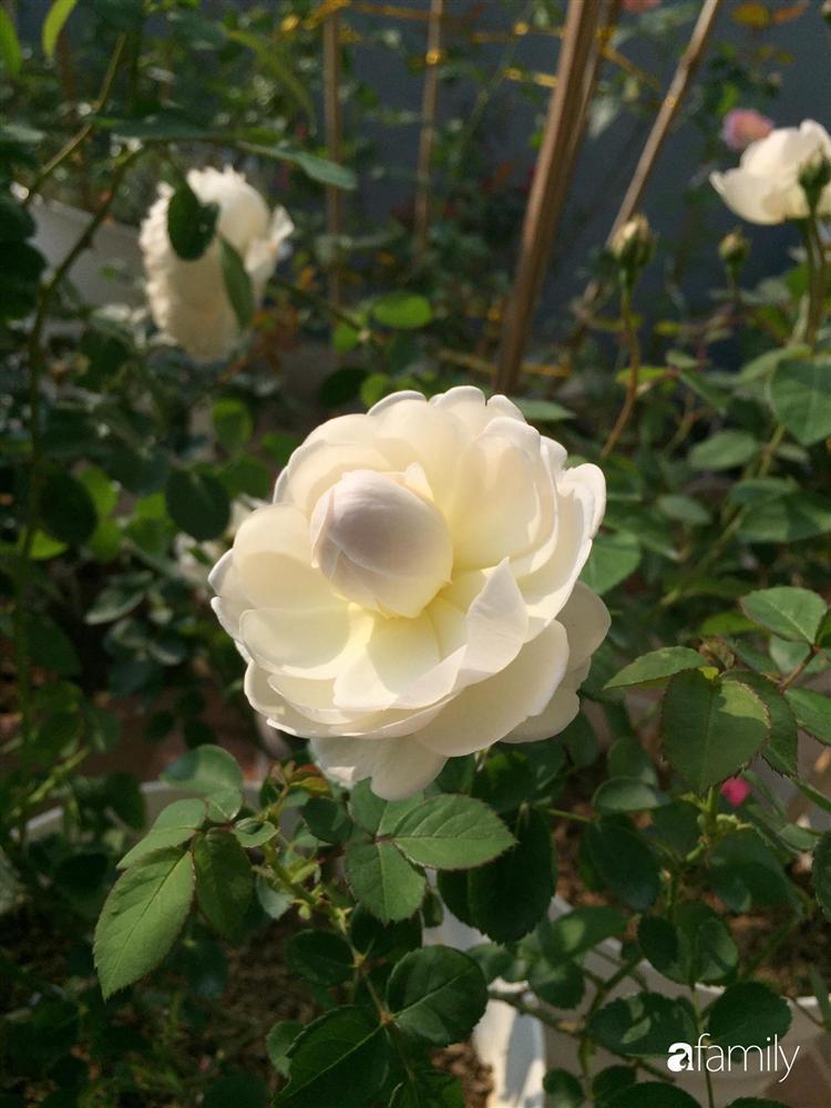 Mê hoa hồng, cô gái trẻ xứ Huế quyết tâm thức khuya dậy sớm tạo cả khu vườn hồng rực rỡ trên sân thượng-14