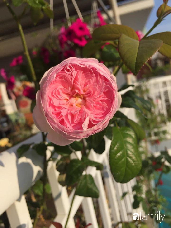 Mê hoa hồng, cô gái trẻ xứ Huế quyết tâm thức khuya dậy sớm tạo cả khu vườn hồng rực rỡ trên sân thượng-15