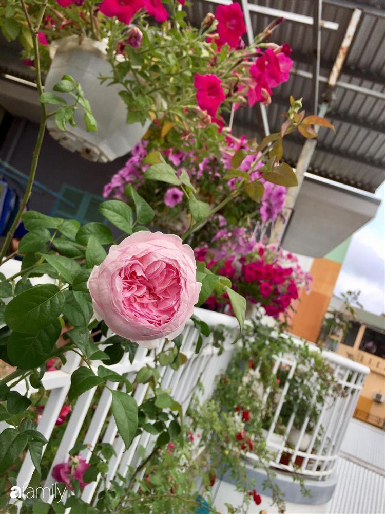 Mê hoa hồng, cô gái trẻ xứ Huế quyết tâm thức khuya dậy sớm tạo cả khu vườn hồng rực rỡ trên sân thượng-16