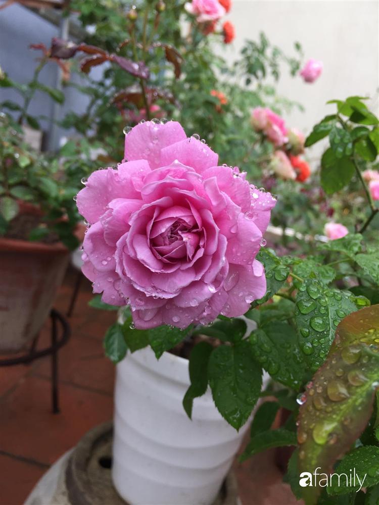 Mê hoa hồng, cô gái trẻ xứ Huế quyết tâm thức khuya dậy sớm tạo cả khu vườn hồng rực rỡ trên sân thượng-18