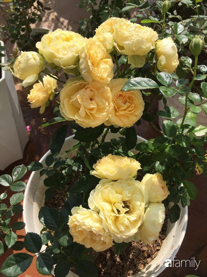 Mê hoa hồng, cô gái trẻ xứ Huế quyết tâm thức khuya dậy sớm tạo cả khu vườn hồng rực rỡ trên sân thượng-19