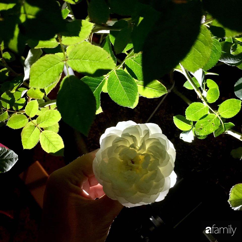 Mê hoa hồng, cô gái trẻ xứ Huế quyết tâm thức khuya dậy sớm tạo cả khu vườn hồng rực rỡ trên sân thượng-23