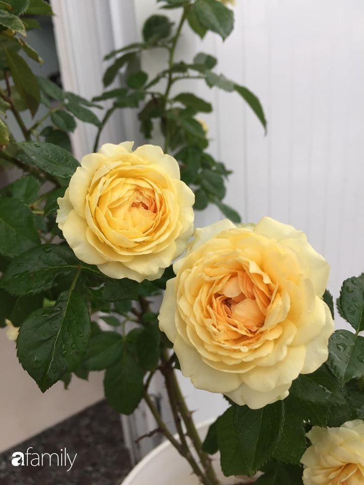 Mê hoa hồng, cô gái trẻ xứ Huế quyết tâm thức khuya dậy sớm tạo cả khu vườn hồng rực rỡ trên sân thượng-24