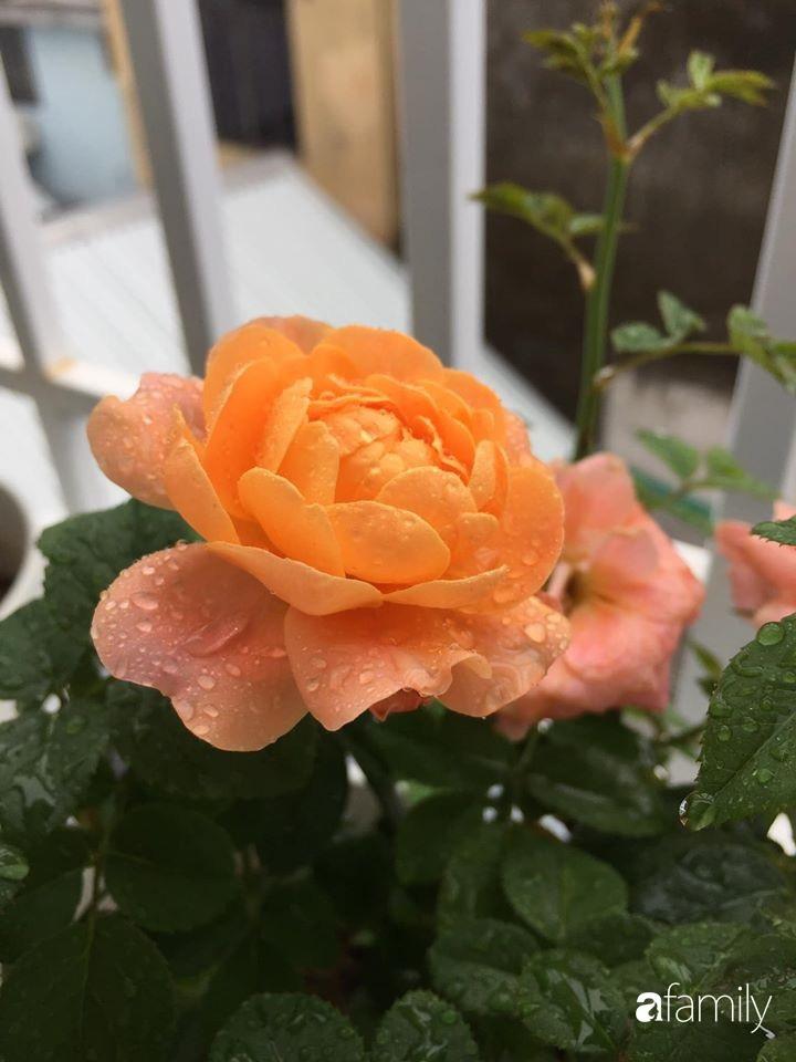 Mê hoa hồng, cô gái trẻ xứ Huế quyết tâm thức khuya dậy sớm tạo cả khu vườn hồng rực rỡ trên sân thượng-25