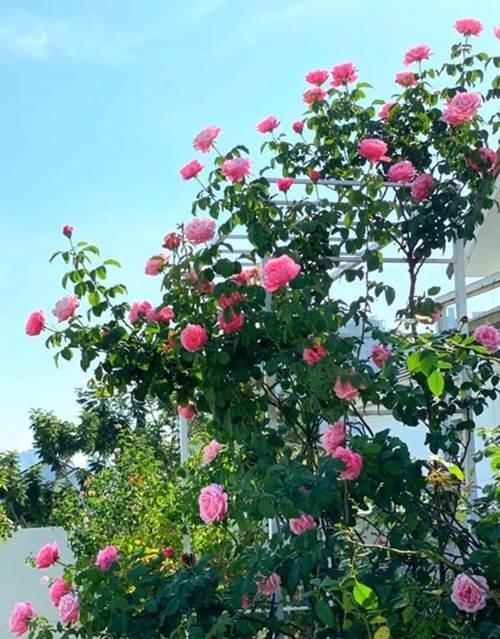 Bà xã Quyền Linh khoe vườn hồng ngập sắc, mọi sự trầm trồ lại đổ vào 2 cô công chúa-1