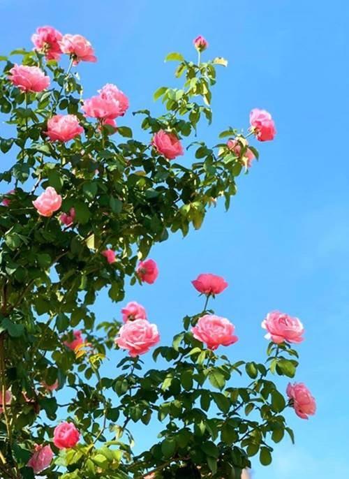 Bà xã Quyền Linh khoe vườn hồng ngập sắc, mọi sự trầm trồ lại đổ vào 2 cô công chúa-3