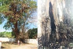 Đôi tình nhân quyên sinh dưới gốc cây và chuyện 'cây tử thần' ở Sài Gòn