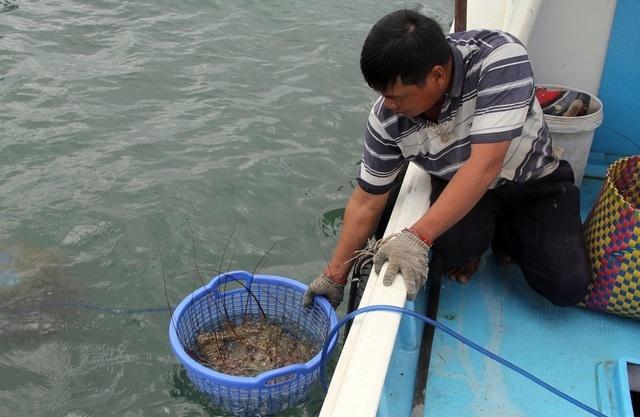 Sự thật về giá tôm hùm ở Phú Yên chỉ 200.000 đồng/kg-3