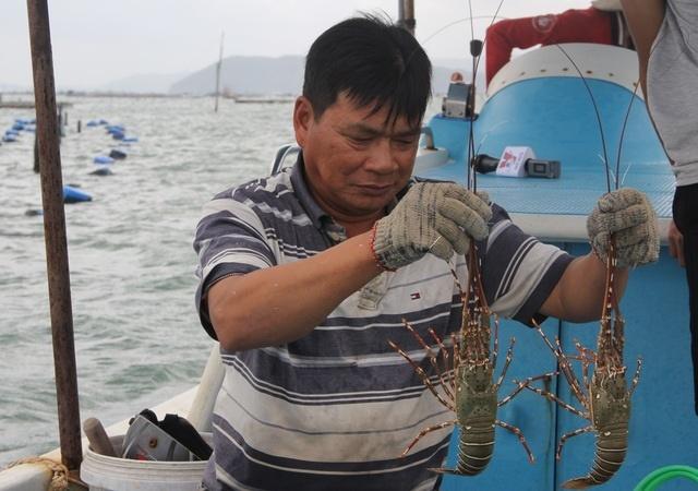 Sự thật về giá tôm hùm ở Phú Yên chỉ 200.000 đồng/kg-4