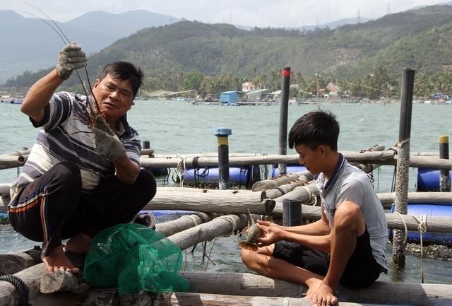 Sự thật về giá tôm hùm ở Phú Yên chỉ 200.000 đồng/kg-5