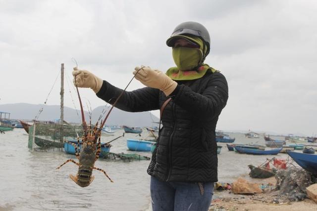 Sự thật về giá tôm hùm ở Phú Yên chỉ 200.000 đồng/kg-6