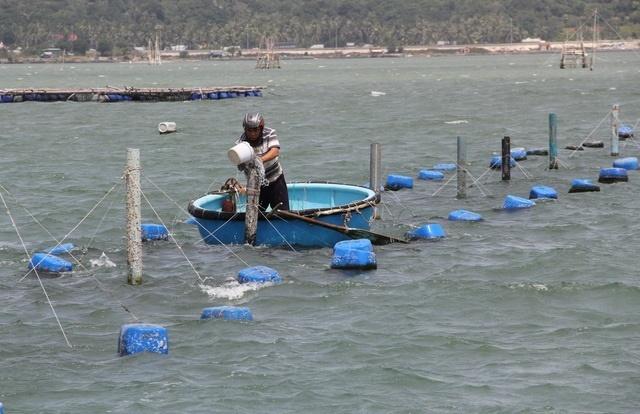 Sự thật về giá tôm hùm ở Phú Yên chỉ 200.000 đồng/kg-7