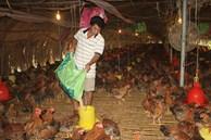 Giá gà rớt thảm, chủ trại lỗ 500 triệu/tháng