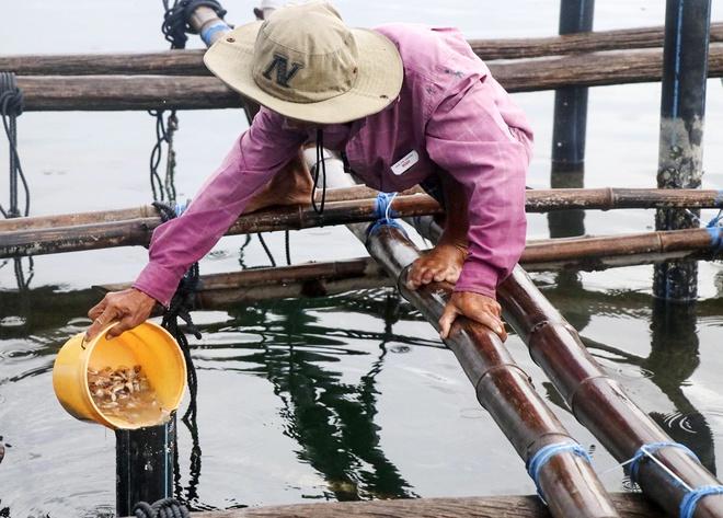 Giải cứu tôm hùm Phú Yên giá 200.000 đồng/kg là tin thất thiệt-2