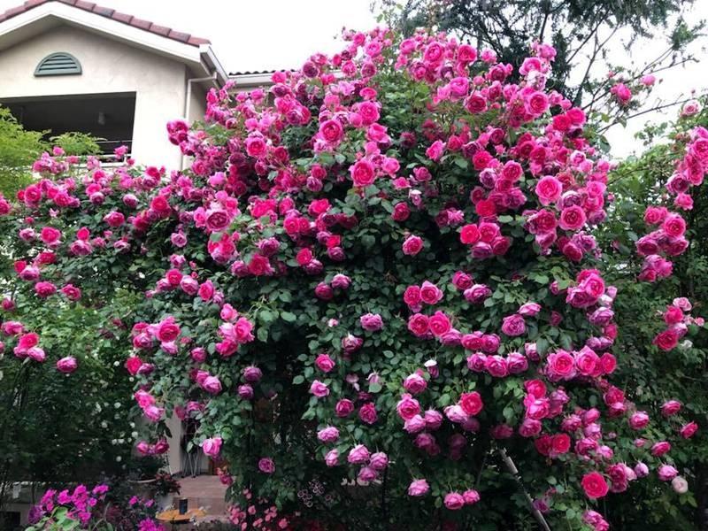 Say đắm ngắm vườn hồng đẹp tựa chốn thần tiên của người đàn ông Việt ở Nhật-1