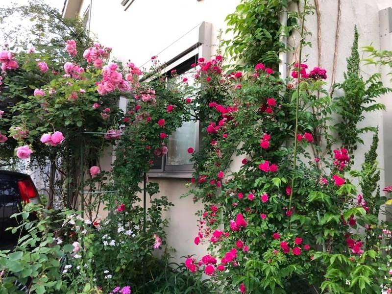 Say đắm ngắm vườn hồng đẹp tựa chốn thần tiên của người đàn ông Việt ở Nhật-3