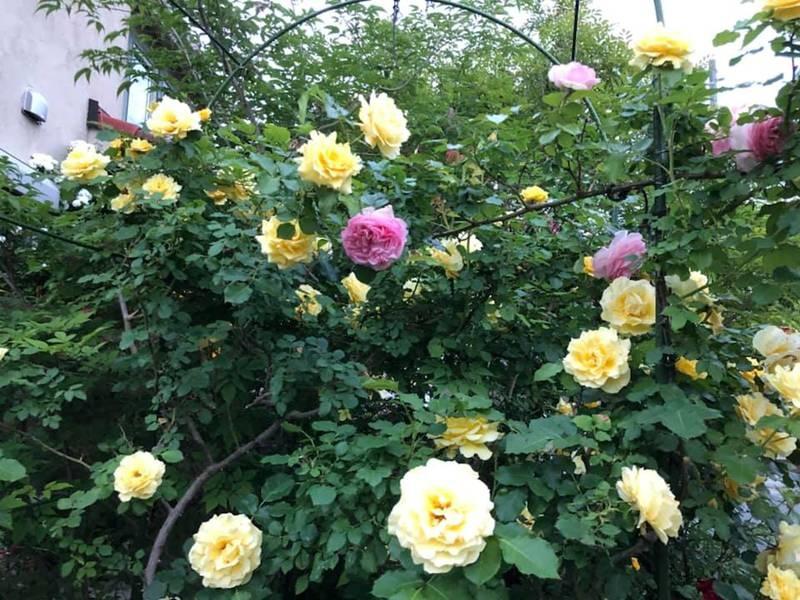 Say đắm ngắm vườn hồng đẹp tựa chốn thần tiên của người đàn ông Việt ở Nhật-5
