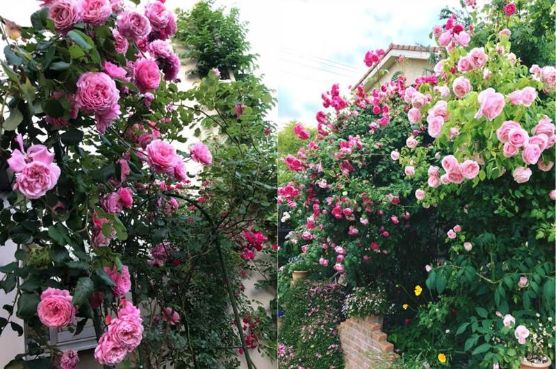 Say đắm ngắm vườn hồng đẹp tựa chốn thần tiên của người đàn ông Việt ở Nhật-6