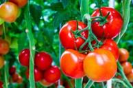 Những dấu hiệu chứng tỏ cà chua chứa 'độc tố', hãy nhanh chóng vứt đi