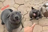Trong 5 ngày, chú chó Nguyễn Văn Dúi đã trở thành hiện tượng mạng toàn cầu