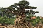 Bán cây sanh