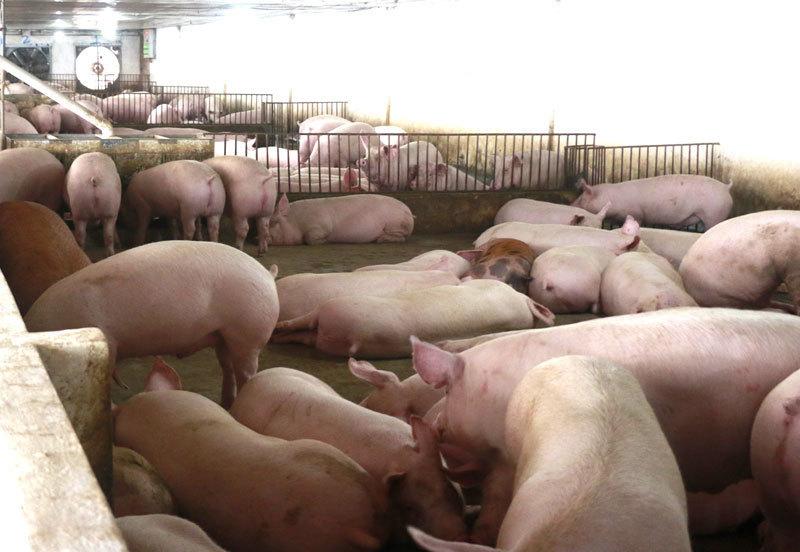 Sau 2 tuần giảm, giá thịt lợn lại tăng vọt lên mức kỷ lục-1