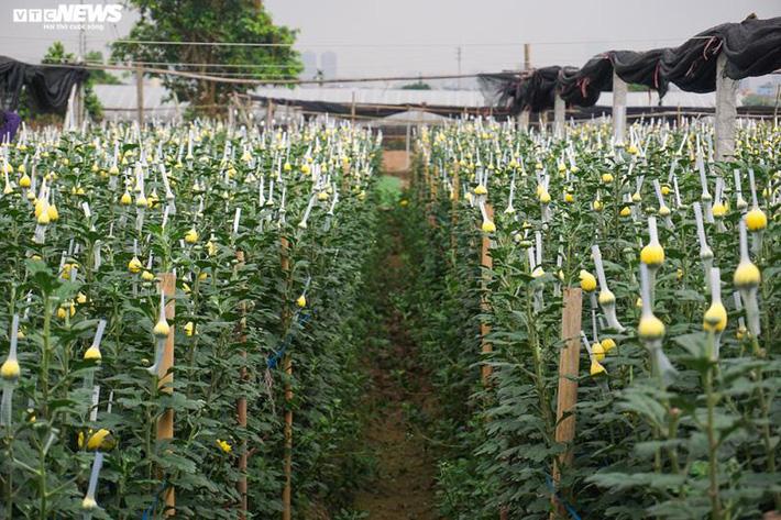 Thấm đòn Covid-19, giá hoa 8/3 giảm một nửa, người trồng lỗ nặng-3