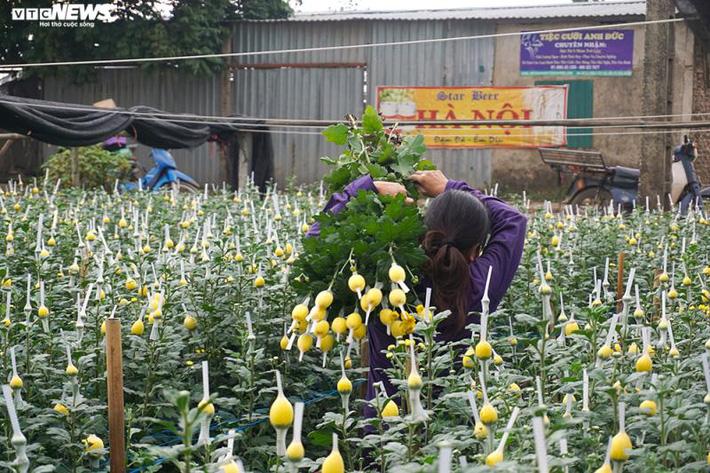 Thấm đòn Covid-19, giá hoa 8/3 giảm một nửa, người trồng lỗ nặng-4