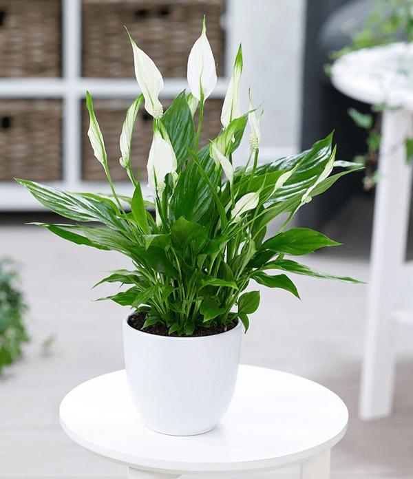 8 loại cây trồng trong phòng ngủ làm sáng bừng không gian, cải thiện giấc ngủ-5