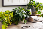 Trồng 7 cây này trong nhà, sức khoẻ lúc nào cũng phăm phăm, chẳng lo ngại gì dịch bệnh-8