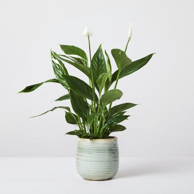 Trồng ngay 5 loại cây này trong nhà, vừa hút khí độc vừa làm đẹp không gian-4