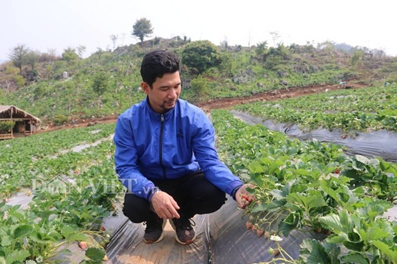 Bỏ lương 8 triệu về trồng dâu tây, soái ca nhà người ta lãi nửa tỷ-1