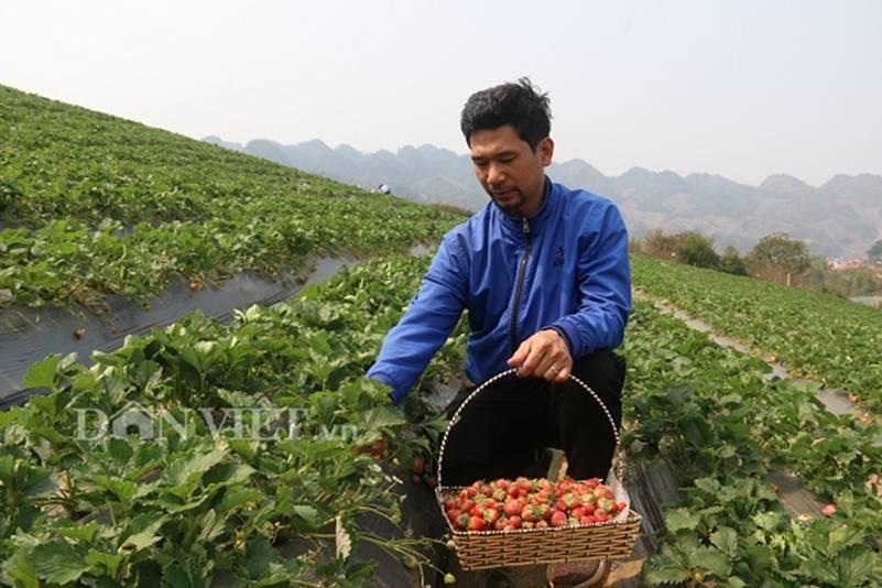 Bỏ lương 8 triệu về trồng dâu tây, soái ca nhà người ta lãi nửa tỷ-2