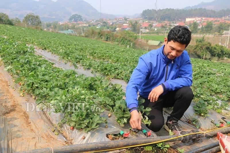 Bỏ lương 8 triệu về trồng dâu tây, soái ca nhà người ta lãi nửa tỷ-3